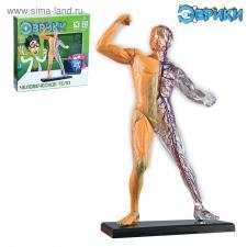 Тело человека Научный опыт «Человеческое тело»