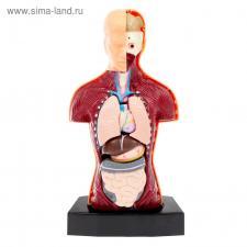 Тело человека Научный опыт «Строение тела. Торс»